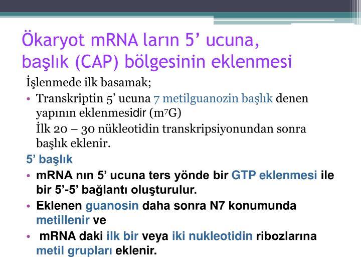 Ökaryot mRNA ların 5' ucuna,
