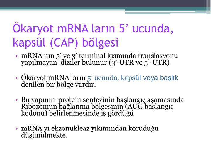 Ökaryot mRNA ların 5' ucunda,