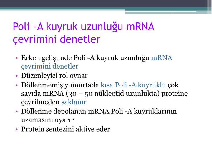 Poli -A kuyruk uzunluğu mRNA çevrimini denetler