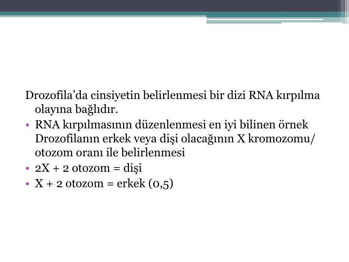 Drozofila'da cinsiyetin belirlenmesi bir dizi RNA kırpılma olayına bağlıdır.