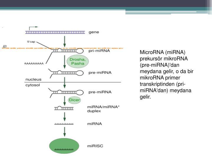 MicroRNA (miRNA) prekursör mikroRNA (pre-miRNA)'dan meydana gelir, o da bir mikroRNA primer transkriptinden (pri-miRNA'dan) meydana gelir