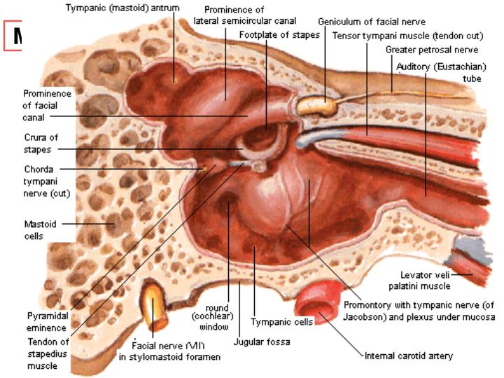 Ppt Anatomy And Physiology Of The External Ear Middle Ear And