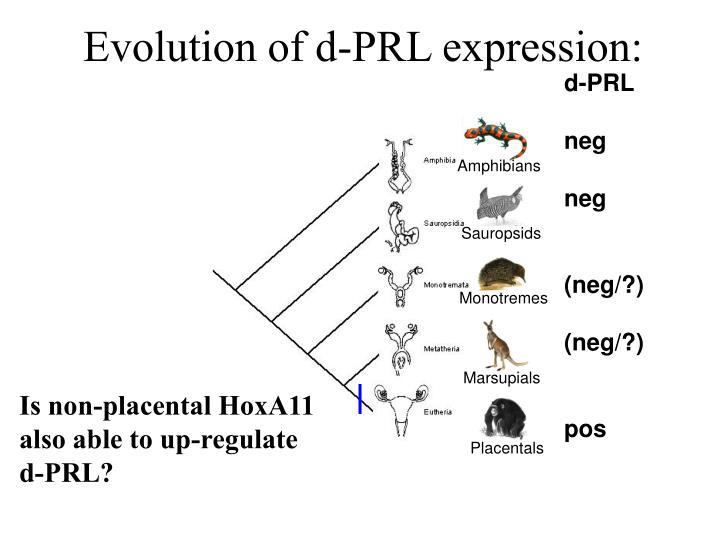Evolution of d-PRL expression: