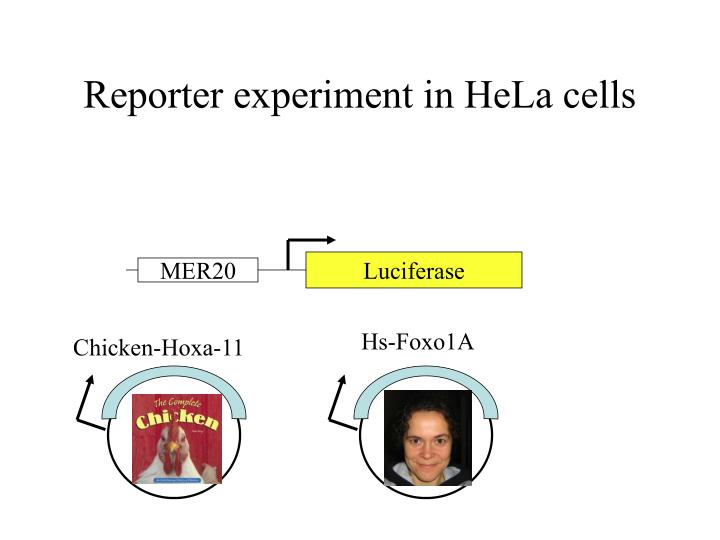 Reporter experiment in HeLa cells