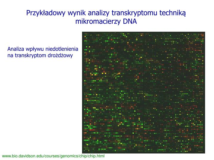 Przykładowy wynik analizy transkryptomu techniką mikromacierzy DNA