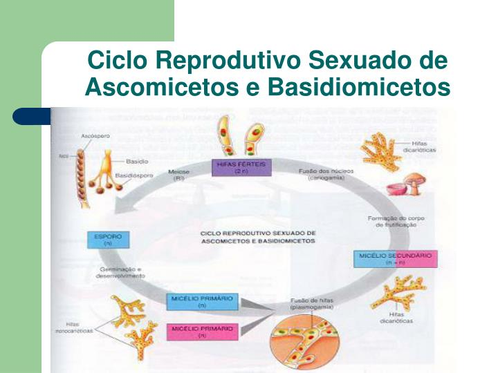 Ciclo Reprodutivo Sexuado de Ascomicetos e Basidiomicetos