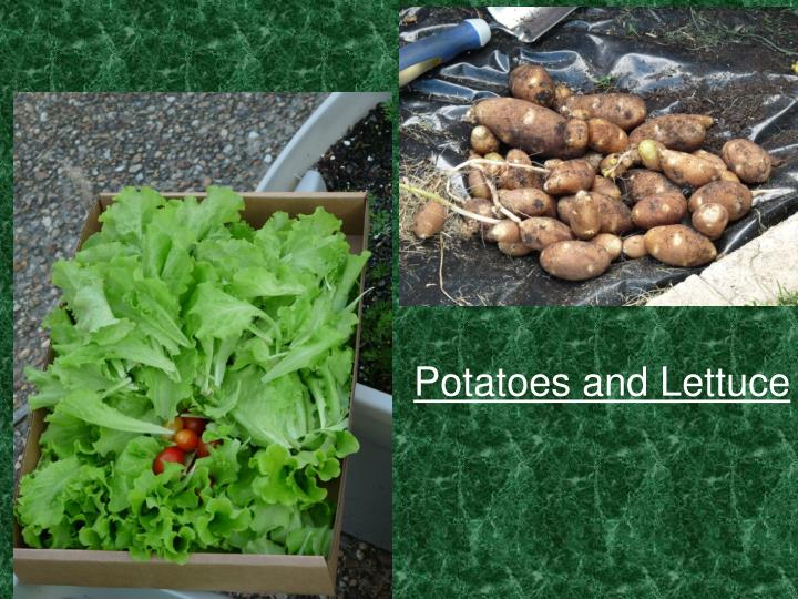 Potatoes and Lettuce