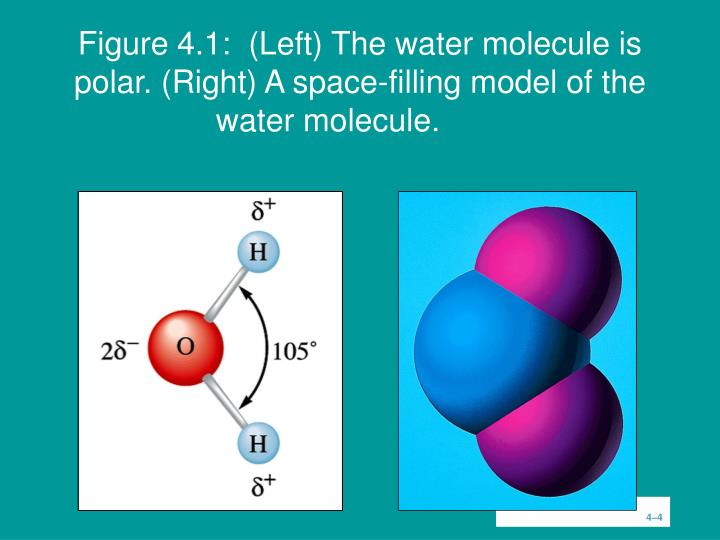 Figure 4.1:  (Left) The water molecule is polar. (Right) A space-filling model of the water molecule.