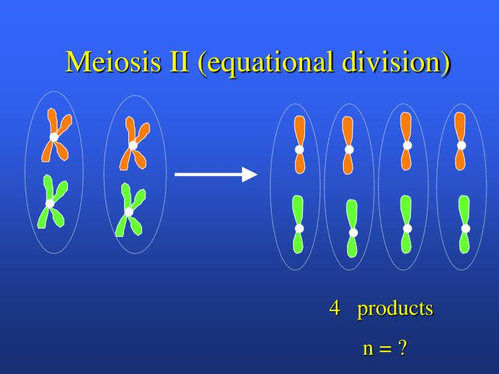 Meiosis II (equational division)