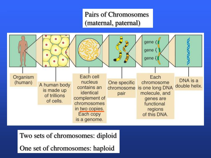 Pairs of Chromosomes (maternal, paternal)