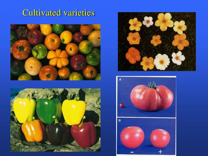 Cultivated varieties