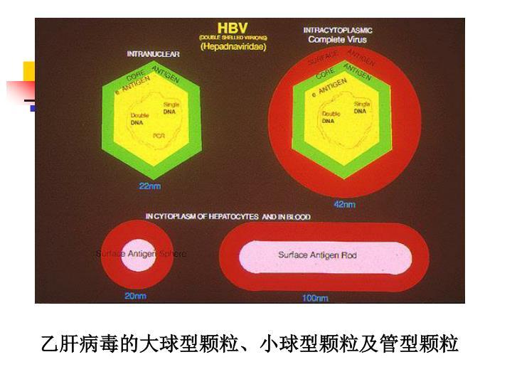 乙肝病毒的大球型颗粒、小球型颗粒及管型颗粒