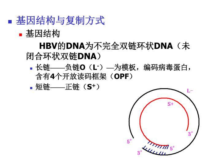 基因结构与复制方式