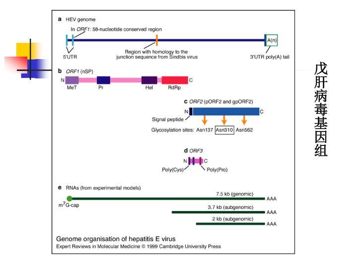 戊肝病毒基因组