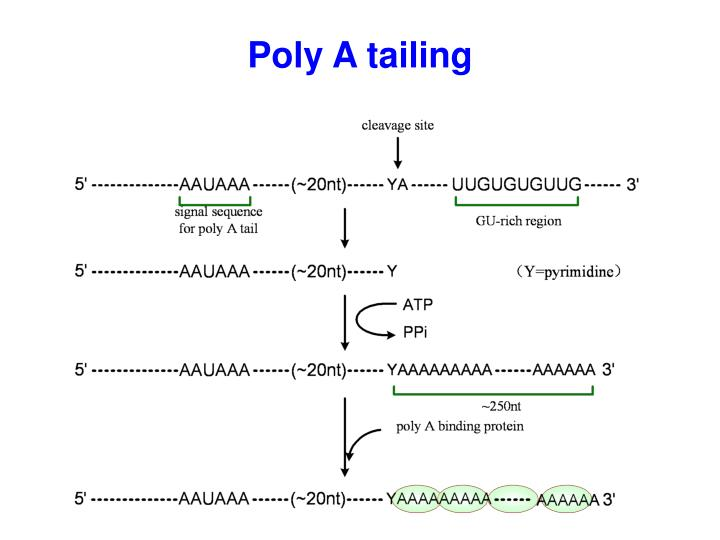 Poly A tailing