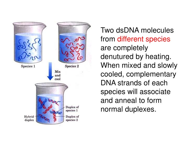 Two dsDNA molecules from