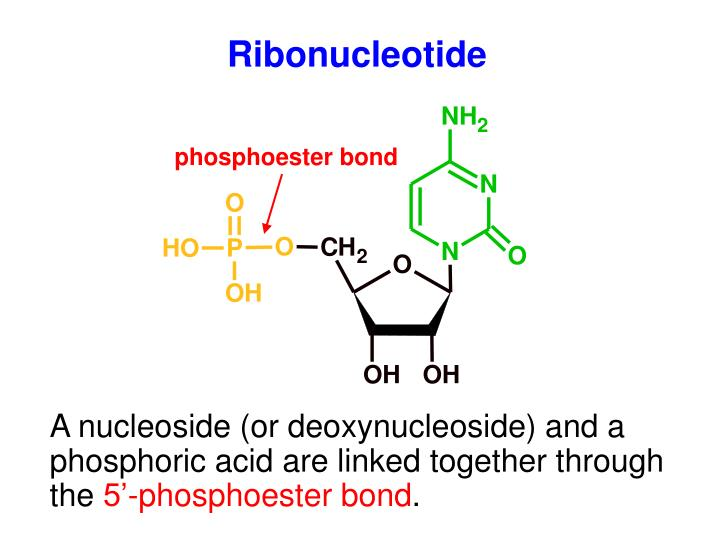 Ribonucleotide