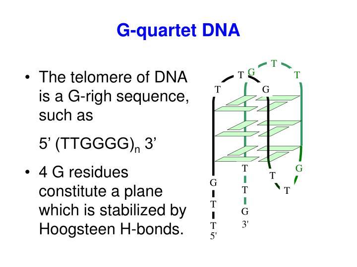 G-quartet DNA