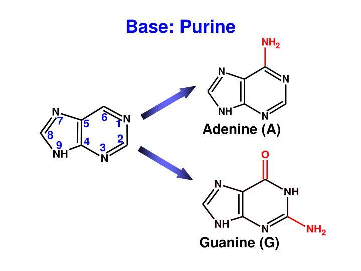 Adenine (A)