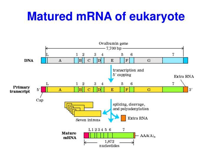 Matured mRNA of e