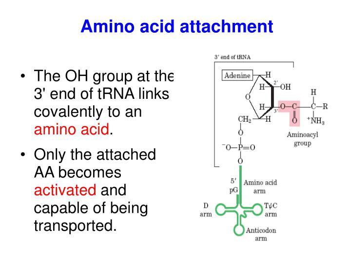 Amino acid attachment
