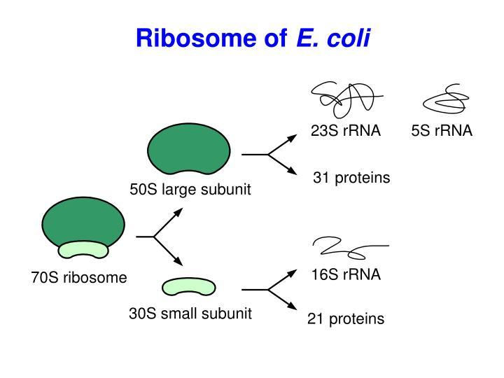 Ribosome of