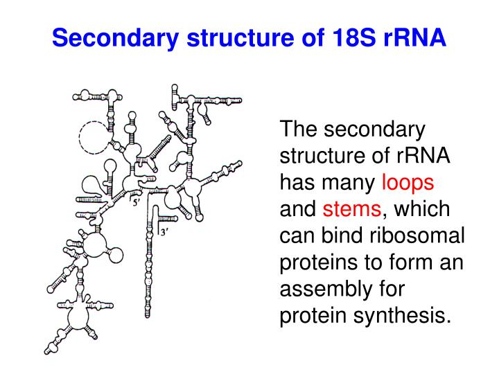 Secondary structure of 18S rRNA