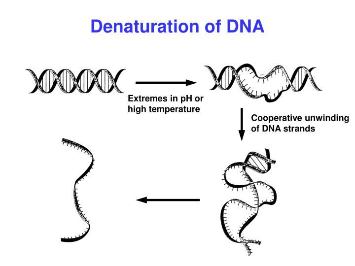 Denaturation of DNA