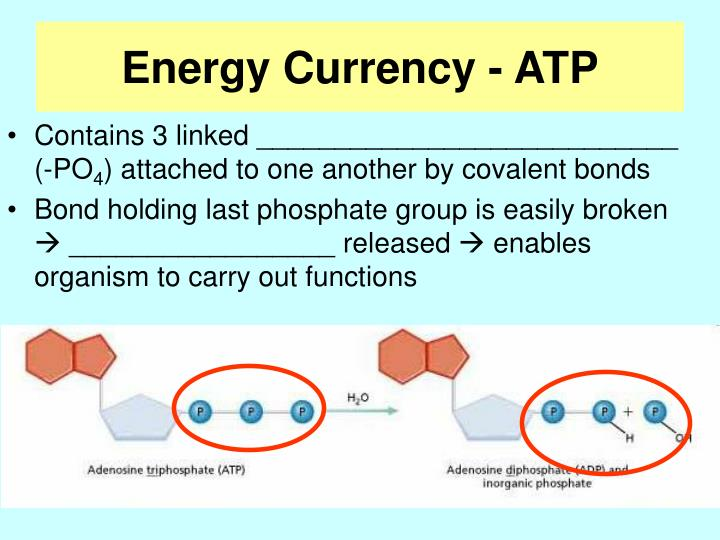 Energy Currency - ATP