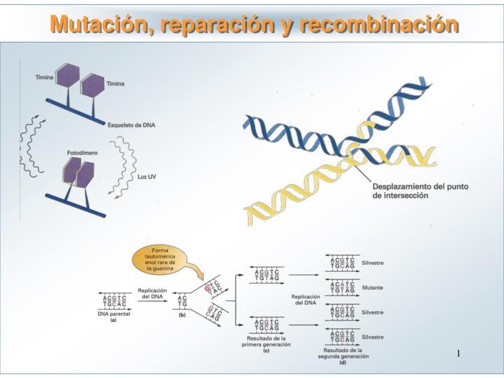 Mutación, reparación y recombinación