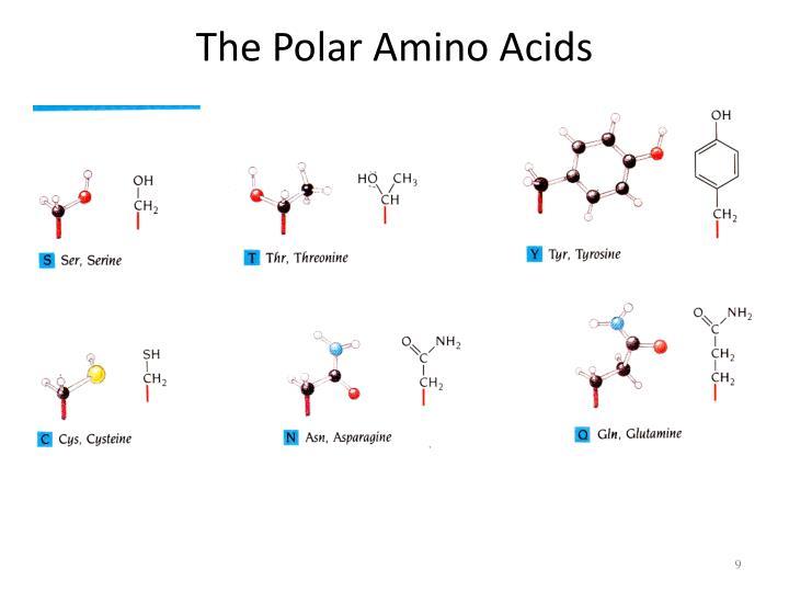 The Polar Amino Acids