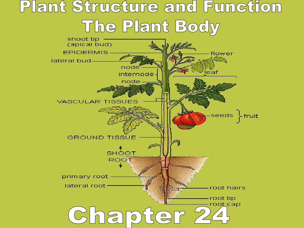 PPT - Plant Structure and Function The Plant Body ...