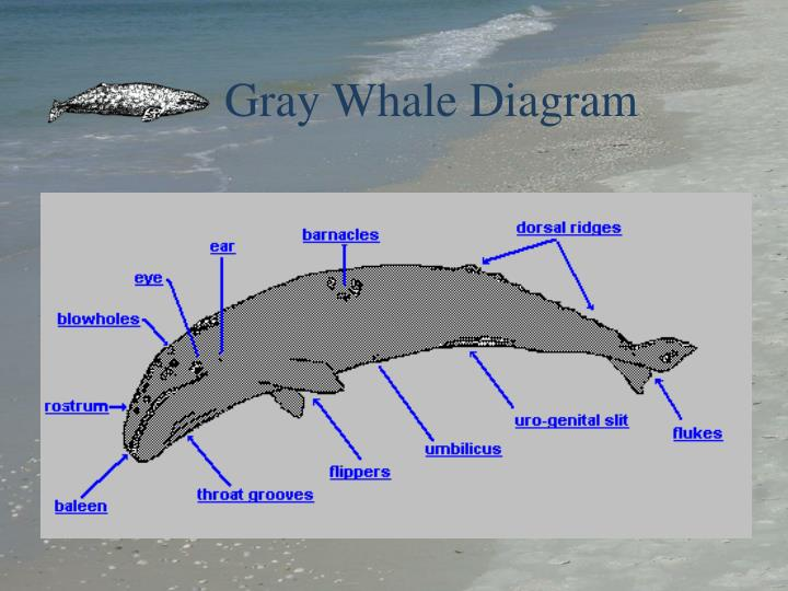 Ppt Gray Whales Powerpoint Presentation Id3585481