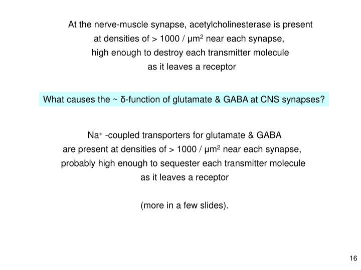 At the nerve-muscle synapse, acetylcholinesterase is present