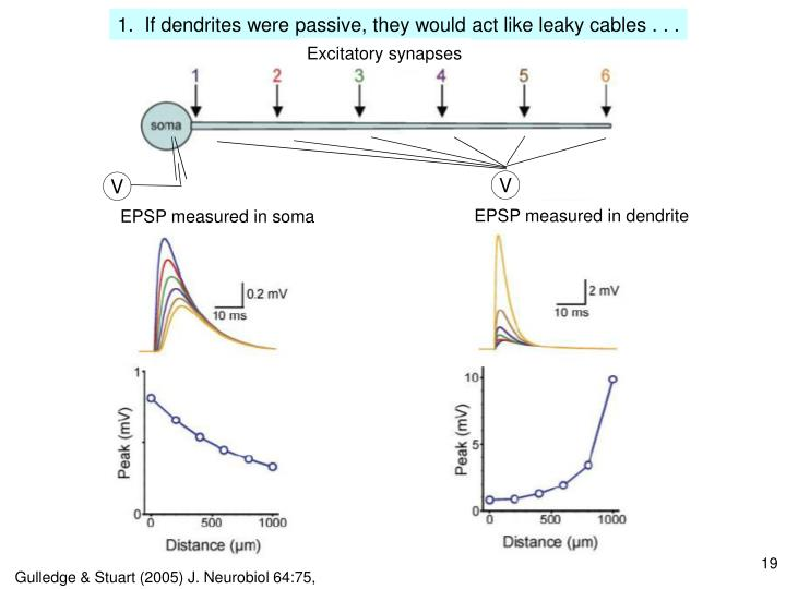 1.  If dendrites were passive, they would act like leaky cables . . .