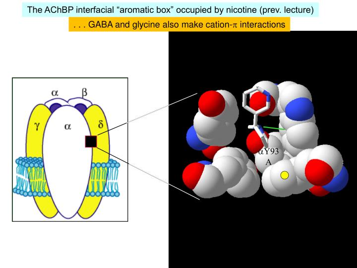 """The AChBP interfacial """"aromatic box"""" occupied by nicotine (prev. lecture)"""