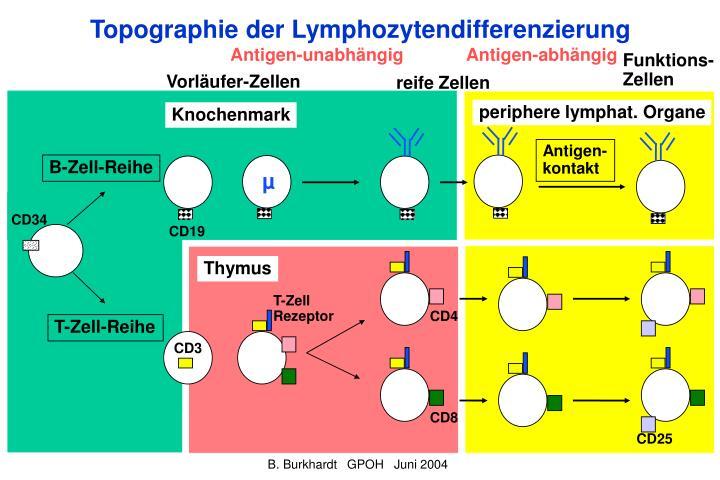 Topographie der Lymphozytendifferenzierung