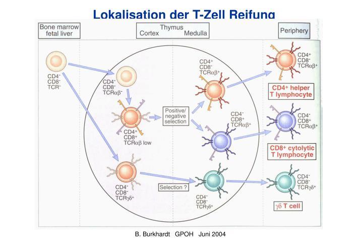 Lokalisation der T-Zell Reifung