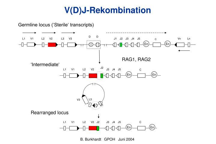 V(D)J-Rekombination