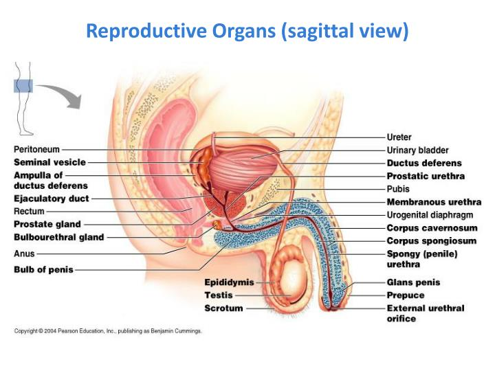 Sagittal Male Reproductive Diagram Illustration Of Wiring Diagram