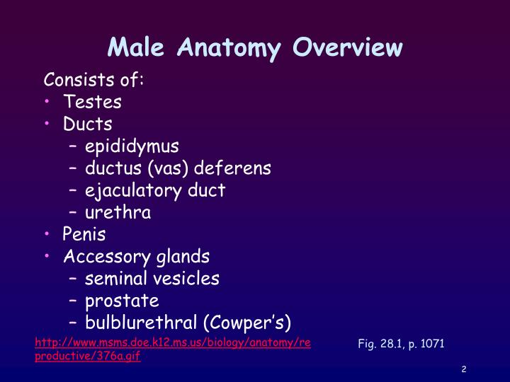 Male anatomy overview