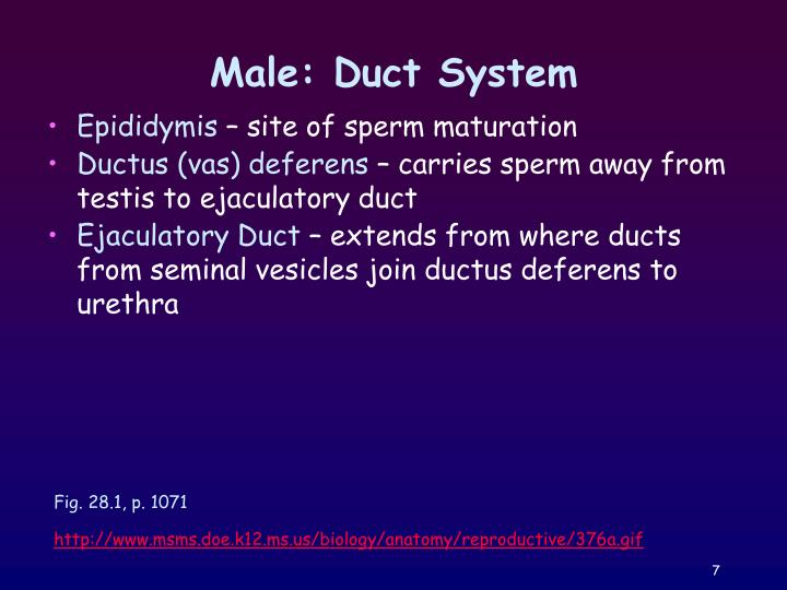 Male: Duct System