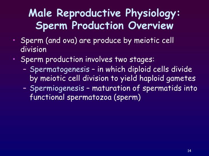 Male Reproductive Physiology: Sperm Production Overview