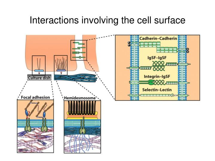 Interactions involving the cell surface