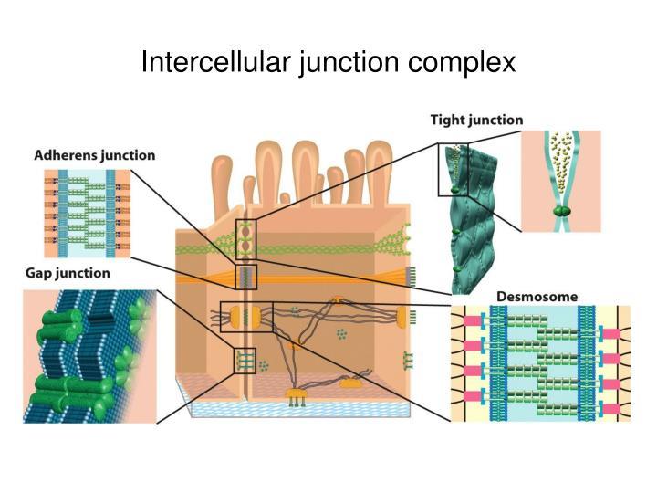 Intercellular junction complex