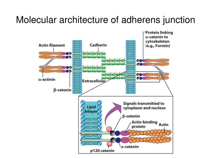 Molecular architecture of adherens junction