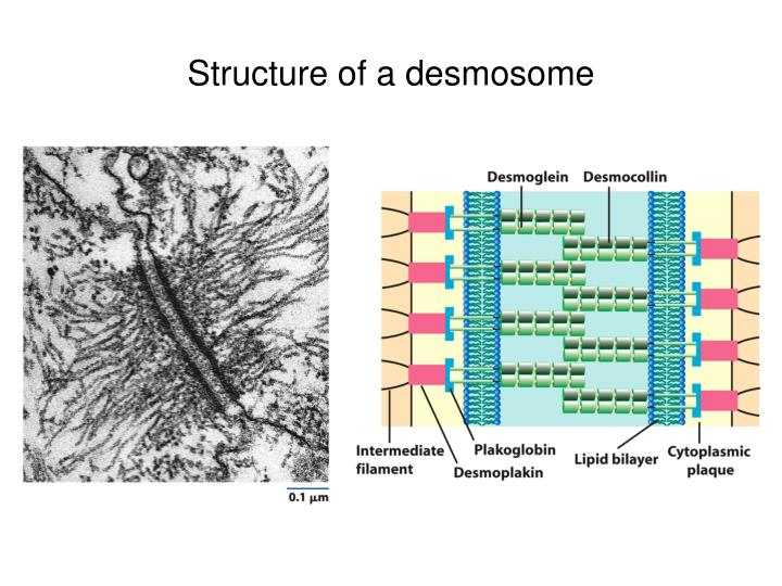 Structure of a desmosome