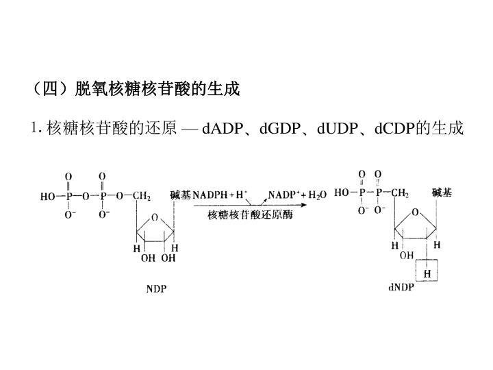 (四)脱氧核糖核苷酸的生成