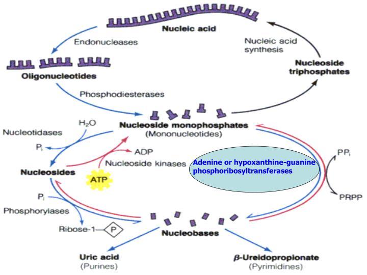 Adenine or hypoxanthine-guanine