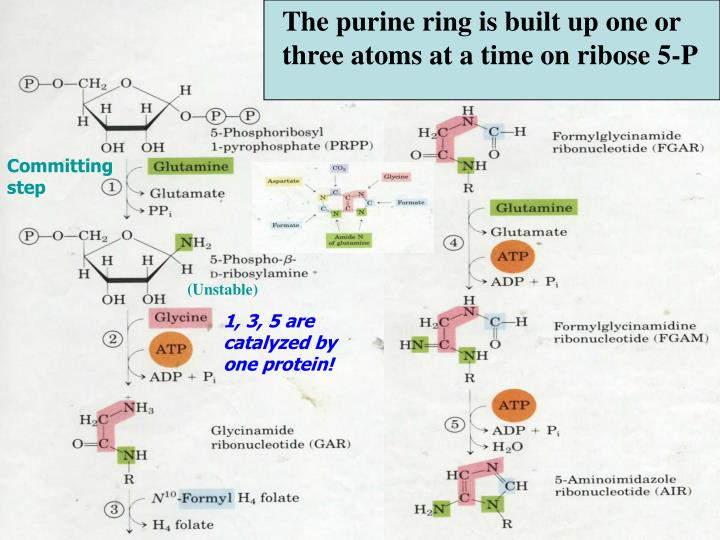 The purine ring is built up one or